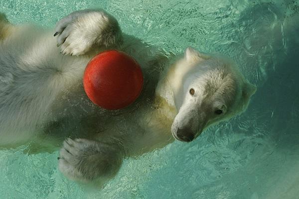 North Carolina Zoo's oldest polar bear passes away