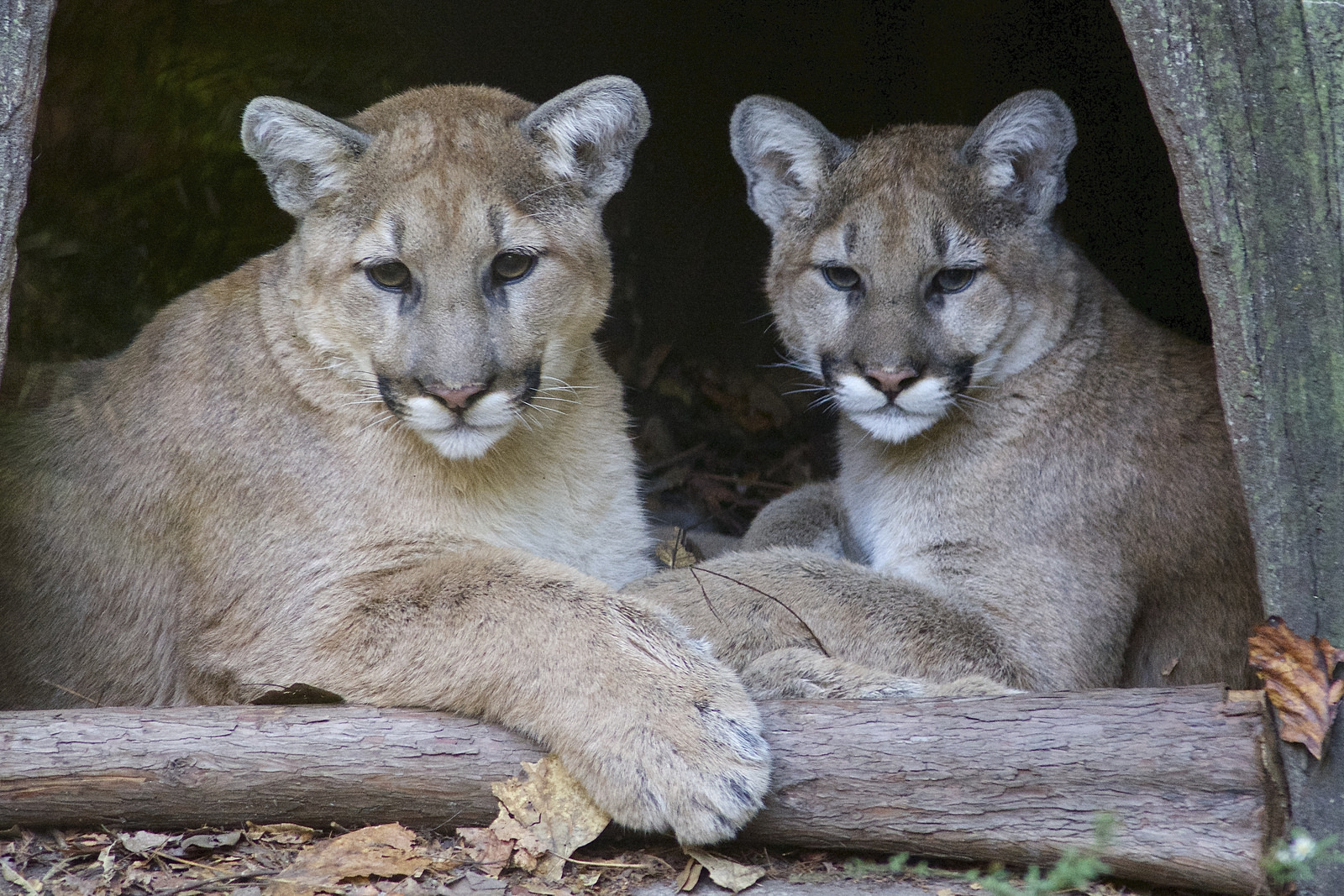 Orphaned cougars at the North Carolina Zoo celebrate first birthday