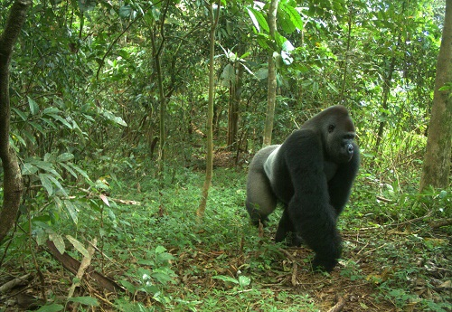 North Carolina Zoo Receives National Award  for Saving Gorillas in the Wild