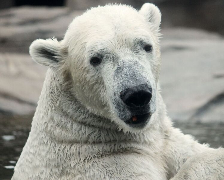 North Carolina Zoo Acquires Another Polar Bear