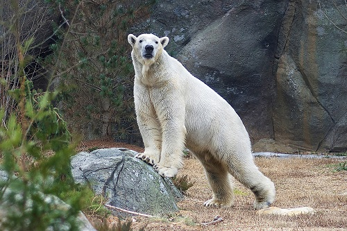 North Carolina Zoo Reopens Tomorrow With New Polar Bear on Exhibit