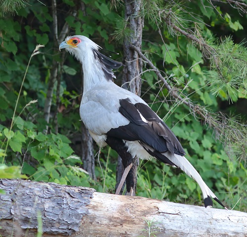 North Carolina Zoo Requests Continued Help to Find Secretary Birds