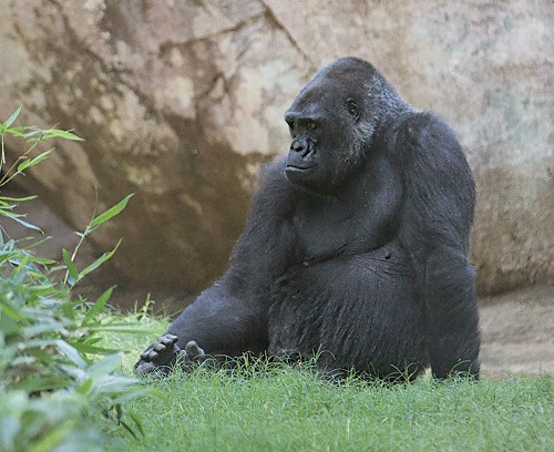 North Carolina Zoo Mourns the Passing of Rosie, the Matriarch of the Zoo's Gorilla Troop