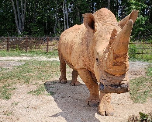 North Carolina Zoo's Beloved Rhino Stanley Passes Away at 49