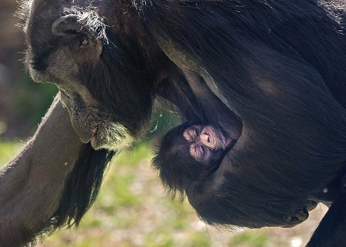 North Carolina Zoo Announces Birth of Chimpanzee – Boost for Conservation Efforts