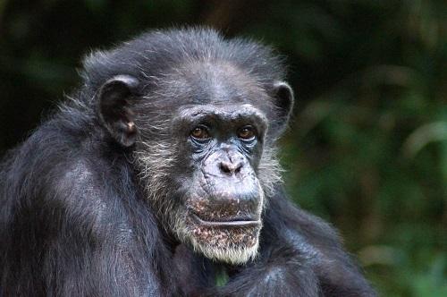North Carolina Zoo Announces Chimp Maggie Passes Away at 46