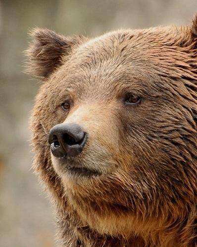 North Carolina Zoo's Beloved Grizzly Bear Yepani Passes Away