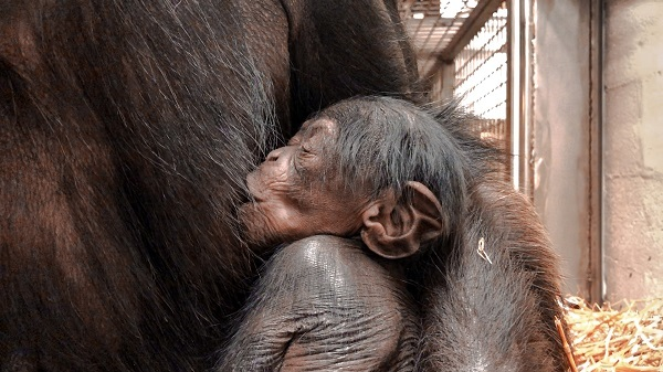 North Carolina Zoo Announces Chimpanzee Birth – Second Birth this Year