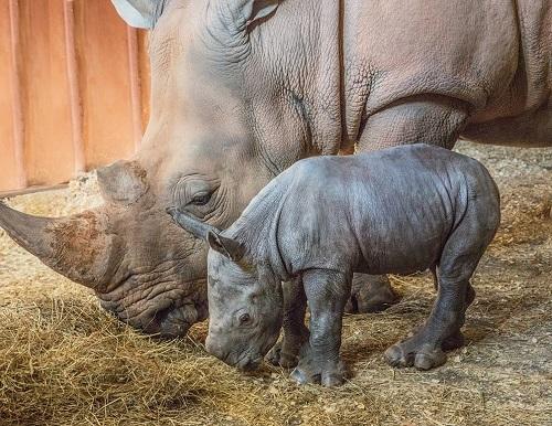 North Carolina Zoo Announces Birth of Southern White Rhino