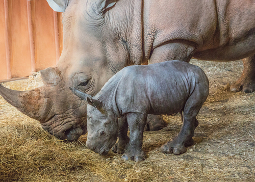 North Carolina Zoo Announces Name of Baby Rhino Born in January 2020