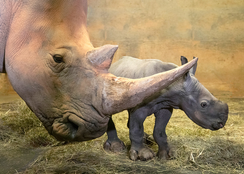North Carolina Zoo Announces Birth of a Second Southern White Rhino This Year