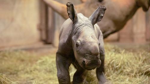 North Carolina Zoo Announces Public Poll to Help Name New Baby Rhino