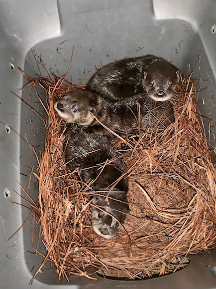 Three Orphaned Otters Receiving Care at North Carolina Zoo Before Being Released Back in the Wild. M