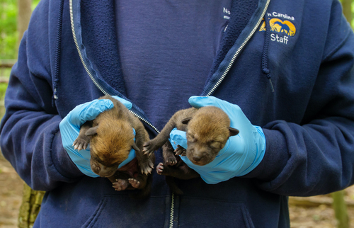 Two Endangered Red Wolf Pups Born at North Carolina Zoo Bringing Total to Seven This Year
