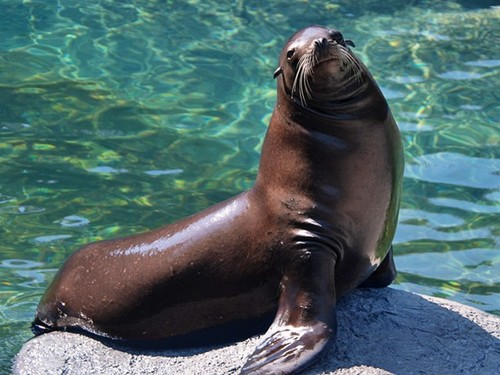California Sea Lion Diesel Passes Away at North Carolina Zoo