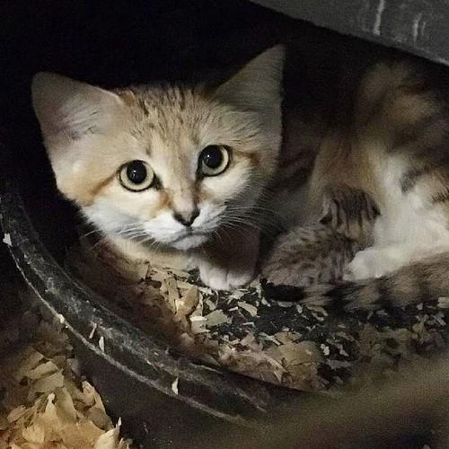Cute but Ferocious: North Carolina Zoo Announces Birth of Sand Cat Kitten