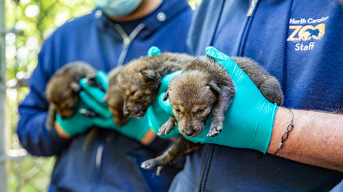 North Carolina Zoo Announces Three Litters of Red Wolves Born in Span of Three Days
