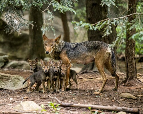 North Carolina Zoo Asks Public to Vote on Names of American Red Wolf Pups