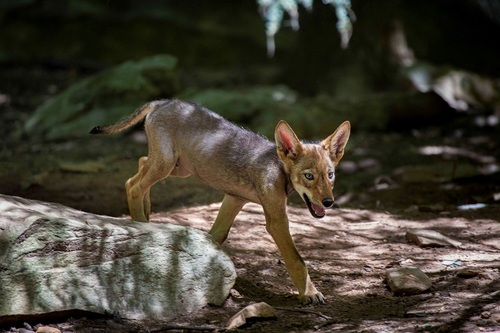 North Carolina Zoo Announces Red Wolf Pup Names Chosen by the Public